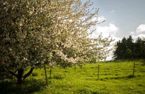 Engen med et æbletræ i fuld blomst.