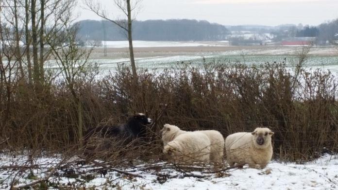 fårene